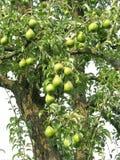 Albero da frutto Fotografia Stock