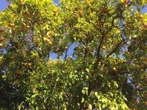 Albero da frutto Fotografie Stock Libere da Diritti