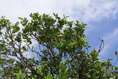 Albero da frutto contro il fondo del cielo blu immagini stock libere da diritti