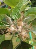 Albero da frutto del fiore del fiore del budd di melo fotografie stock