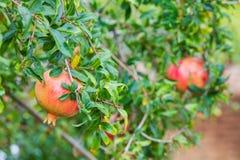 Albero da frutto del melograno nel giardino di autunno, Cipro Immagine Stock