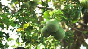 Albero da frutto del pomelo nel giardino stock footage