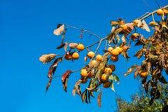 Albero da frutto di diospyros kaki del cachi contro chiaro cielo blu Copi lo spazio per testo Fotografia Stock Libera da Diritti