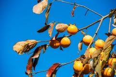 Albero da frutto di diospyros kaki del cachi contro chiaro cielo blu Copi lo spazio per testo Fotografia Stock