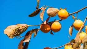 Albero da frutto di diospyros kaki del cachi contro chiaro cielo blu Primo piano Immagine Stock