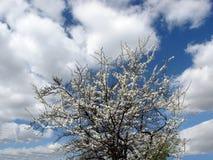 Albero da frutto di fioritura Immagine Stock Libera da Diritti