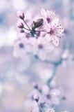 Albero da frutto di fioritura Fotografia Stock Libera da Diritti