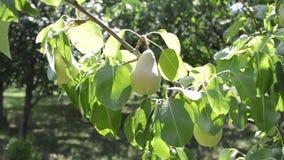 Albero da frutto Le grandi pere appende sull'albero video d archivio