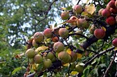 Albero da frutto selvaggio Immagini Stock