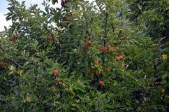 Albero da frutto selvaggio Immagine Stock Libera da Diritti