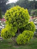 Albero decorativo in giardino convenzionale Fotografia Stock