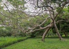 Albero deforme piegato come si vede nel giardino botanico di Bingerville nel ` Ivoire di Costa d'Avorio Cote d Fotografia Stock