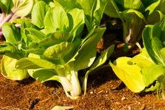 Albero degli spinaci. Fotografia Stock