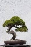 Albero dei bonsai Immagine Stock