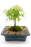 Albero dei bonsai Fotografia Stock Libera da Diritti