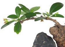Albero dei bonsai Fotografie Stock Libere da Diritti