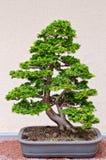 Albero dei bonsai Immagine Stock Libera da Diritti