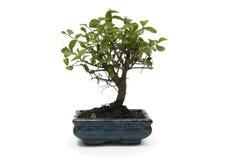 Albero dei bonsai Fotografie Stock