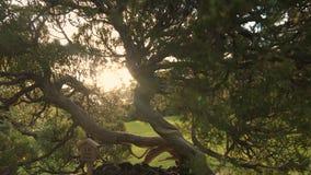 Albero dei bonsai al tramonto nel Giappone, chiarore della lente archivi video