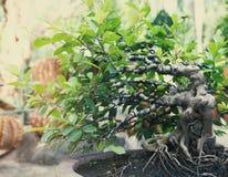 Albero dei bonsai all'aperto Fotografia Stock Libera da Diritti