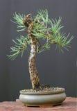 Albero dei bonsai con gli aghi Immagini Stock