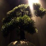 Albero dei bonsai con il raggio luminoso fotografia stock