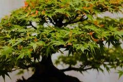 Albero dei bonsai dell'acero giapponese su esposizione immagini stock libere da diritti