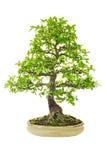 Albero dei bonsai dell'olmo Fotografia Stock Libera da Diritti