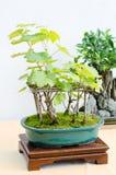 Albero dei bonsai dell'uva nell'esposizione fotografie stock