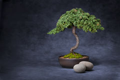 Albero dei bonsai e priorità bassa delle pietre Fotografia Stock