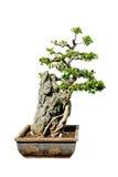 Albero dei bonsai isolato su bianco Fotografia Stock Libera da Diritti