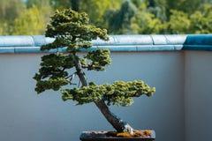 Albero dei bonsai su esposizione in Frederik Meijer Gardens un giorno di molla soleggiato fotografia stock libera da diritti