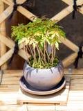 Albero dei bonsai in vaso Fotografie Stock