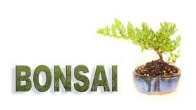 Albero dei bonsai in vaso blu con l'iscrizione di struttura dell'erba Immagini Stock