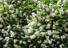 Albero dei fiori bianchi Fondo, natura immagini stock