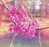 Albero dei fiori di ciliegia della primavera al fondo dell'estratto di esplosione solare di alba Concetto vago l'immagine è retro Immagini Stock