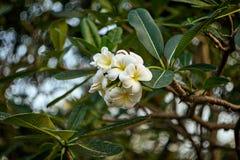 Albero dei fiori di plumeria o del frangipane fotografia stock