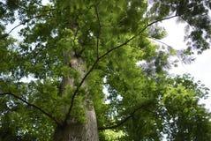 Albero dei glyptostroboides di Metasequoia fotografia stock