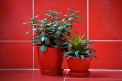 Albero dei soldi (crassula) ed aloe vera in vasi da fiori rossi su fondo rosso Fotografie Stock