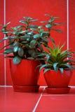 Albero dei soldi (crassula) ed aloe vera in vasi da fiori rossi su fondo rosso Fotografia Stock