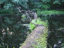 albero 2 dei Vivere-morti Fotografia Stock Libera da Diritti