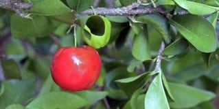 Albero del Acerola con i frutti Fotografia Stock Libera da Diritti