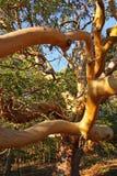 Albero del Arbutus immagine stock libera da diritti