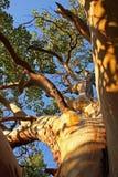 Albero del Arbutus immagini stock libere da diritti