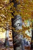 albero del Argento-faggio Fotografia Stock Libera da Diritti