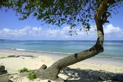 Albero del Bali Immagine Stock