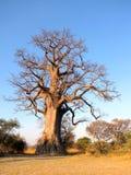 Albero del baobab Fotografia Stock Libera da Diritti