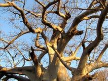 Albero del baobab Fotografie Stock