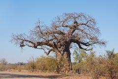 Albero del baobab Immagine Stock