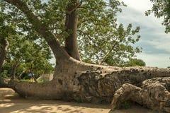 Albero del baobab, digitata di adansonia Fotografie Stock Libere da Diritti
